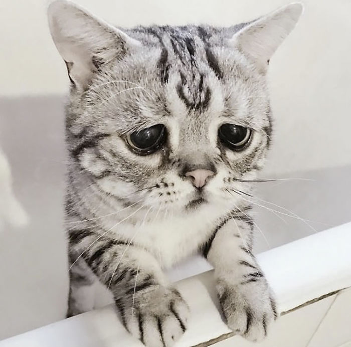 meet luhu  the saddest cat in the world whose photos will