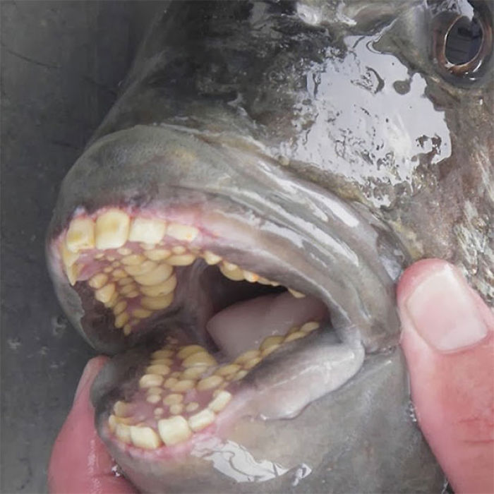 The Sheepshead Fish Has Human-Like Teeth