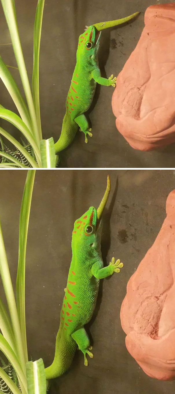 Gecko Eats His Own Tail