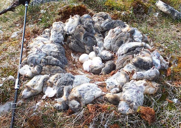 Este Ajetreado Búho Mató 70+ Ratones Lemming Y Rodeó Su Nido Con Sus Cadáveres Frescos