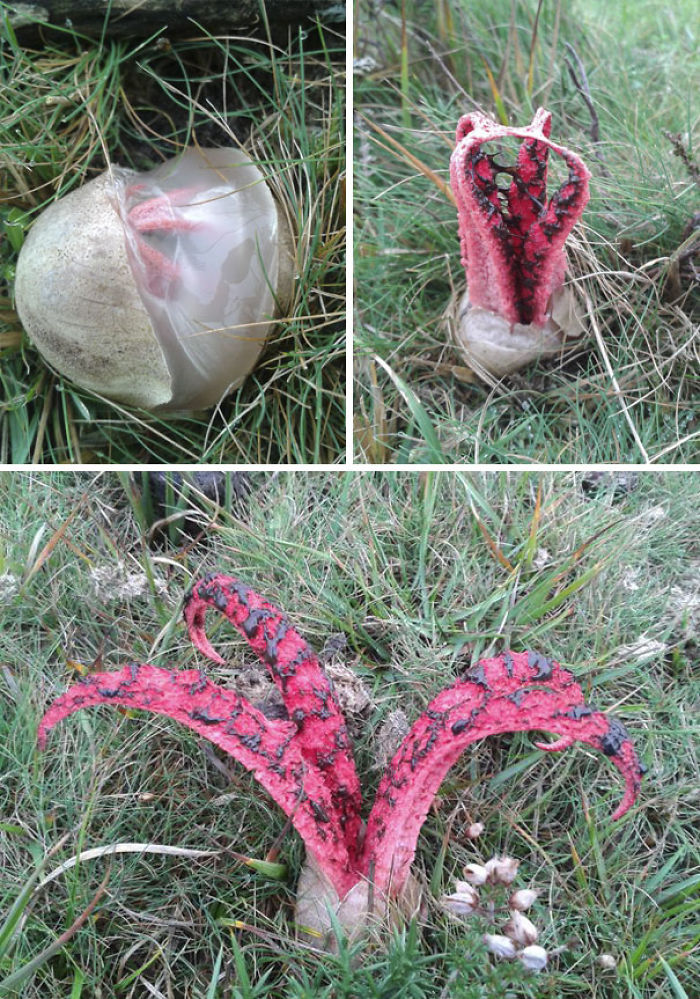 Devil's Fingers Fungus