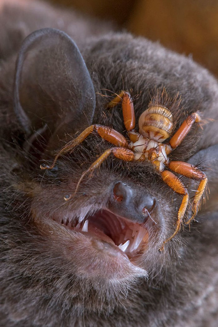 Wingless Fly Penicillidia That Attaches To Bats' Heads And Never Leaves Its Body