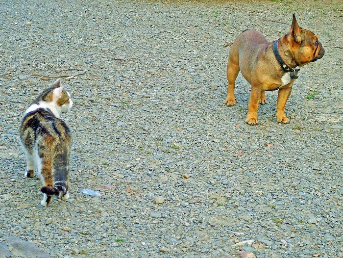 Shebus Gives Aston The French Bulldog The Evil Eye..