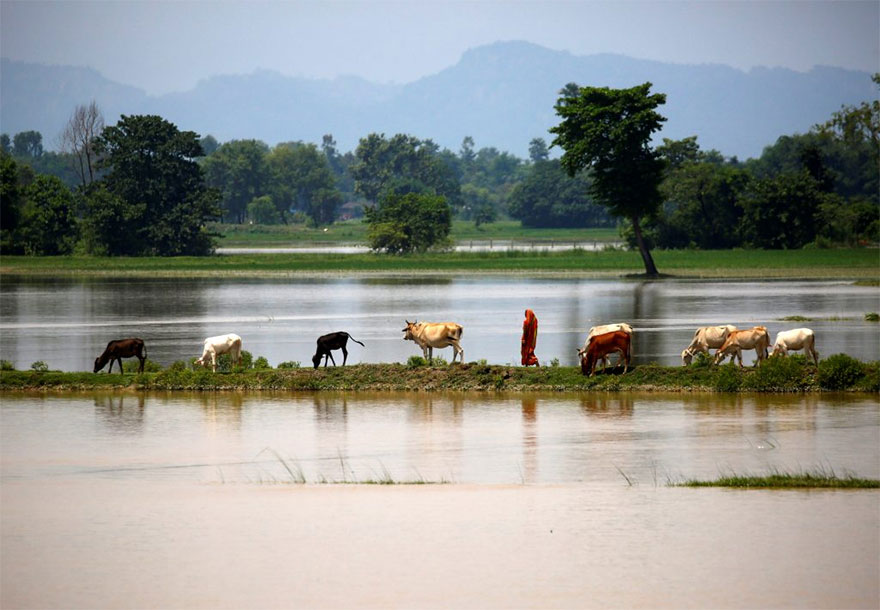 Cattle Graze As A Woman Walks On Higher Ground In Saptari District, Nepal