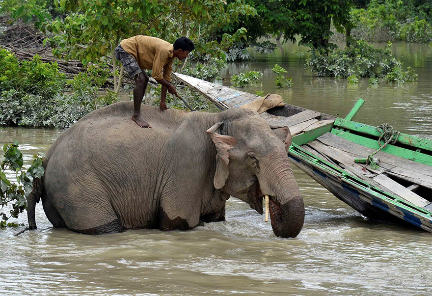 A Mahout Bathes His Elephant Inside The Flooded Kaziranga National Park In Nagaon District, In The Northeastern State Of Assam, India
