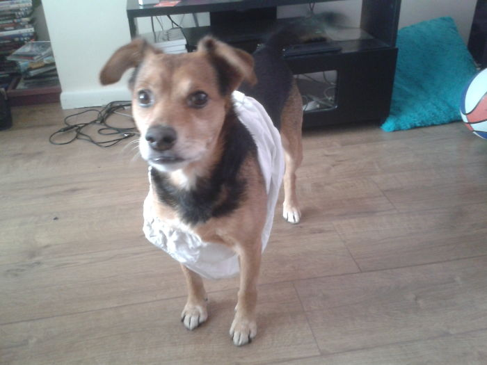 My Dog Steals Our Clothes To Wear. Yes, They Are Knickers. No, I Don't Know How He Got Them On.