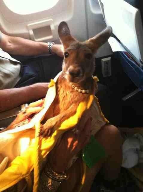 A Kangaroo. On A Plane. Wearing Human Stuff