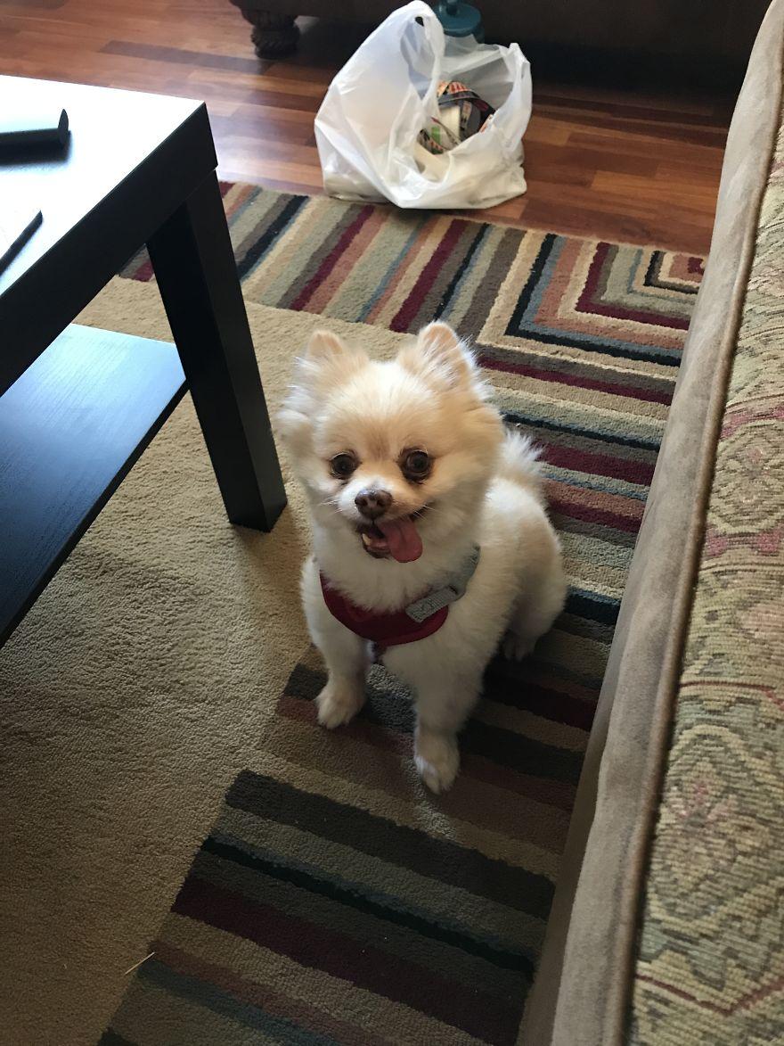Troy The Pomeranian