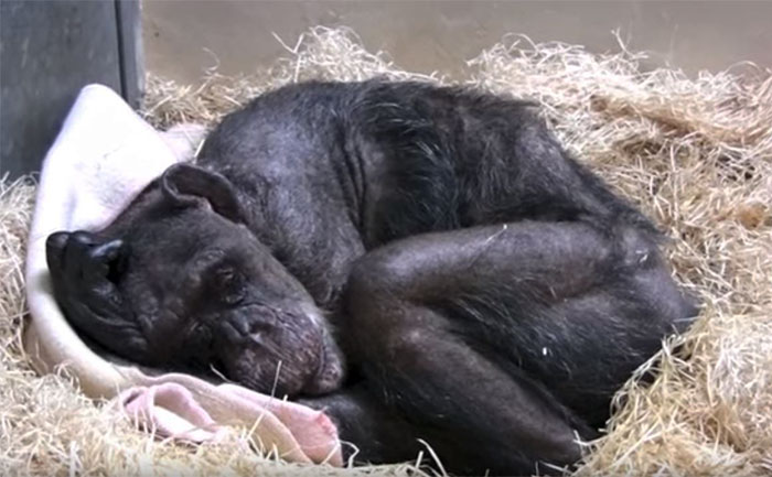 Image result for 59-Year-Old Chimp Is Very Sick And Refuses Food, Then She Recognizes Her Old Friend