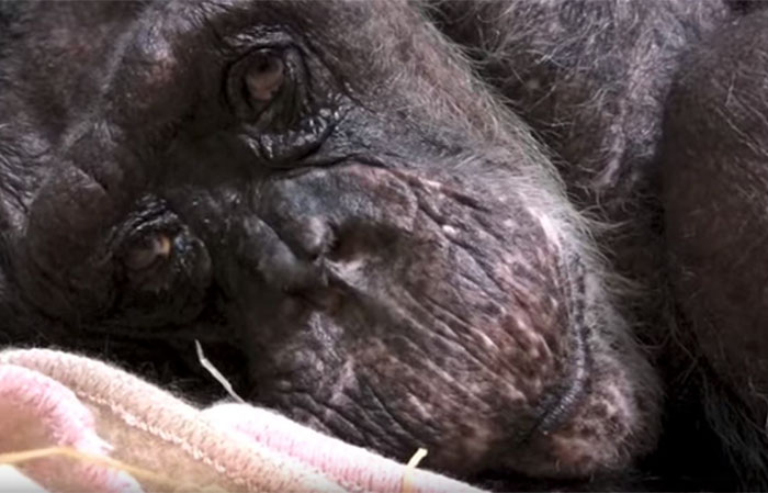 59-year-old-sick-chimpanzee-recognize-friend-jan-van-hooff-2