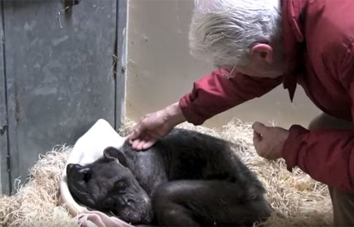 59-year-old-sick-chimpanzee-recognize-friend-jan-van-hooff-3