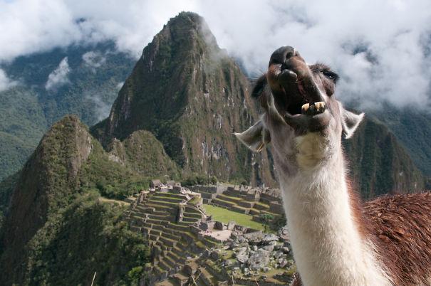 The Llama Of Machu Picchu
