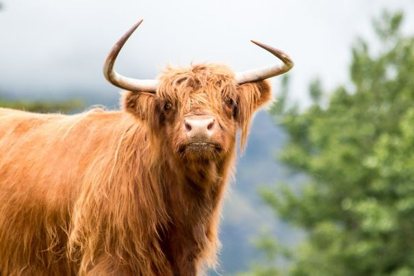 A Derpy Highland Bull I Met The Other Day