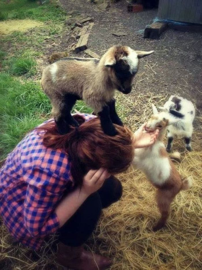 Baby Goats Doing What Baby Goats Do. Be Adorable