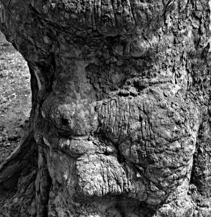 Face In Sycamore Tree