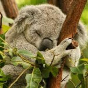 MITS Koala