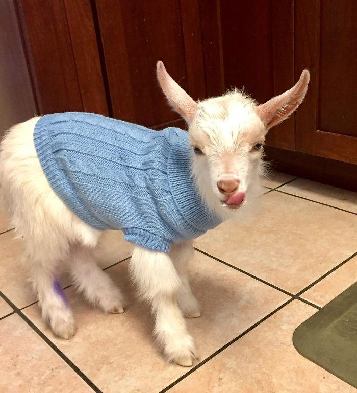 Mi suegra tiene una cabra, se llama Cedric