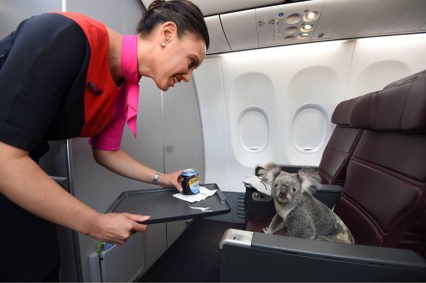Koala Getting First Class Service In Flight