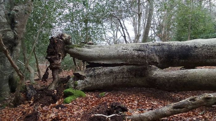 Face In The Root System.... The Green Man In The New Forest 😊💗🍃🌳