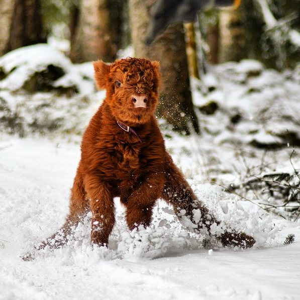 Cute-Baby-Highland-Cattle-Calves
