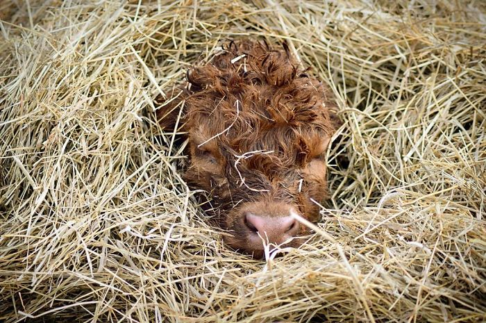 Cuddled Up In Hay