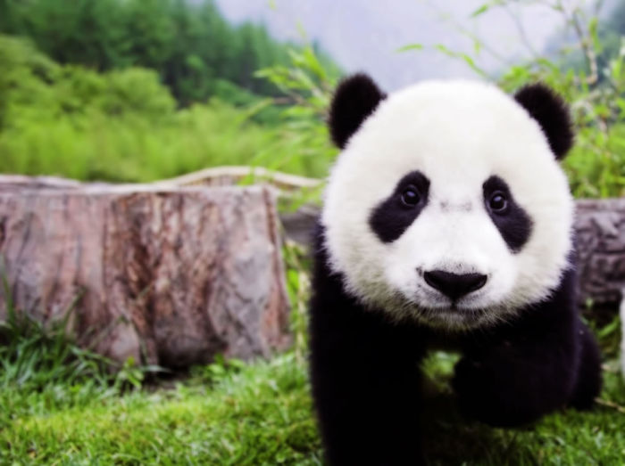 5+ Cute Pictures Of Pandas