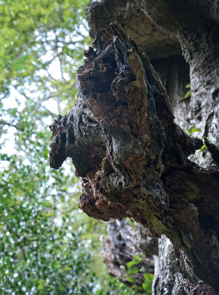 The Ent, In The Savernake Forest