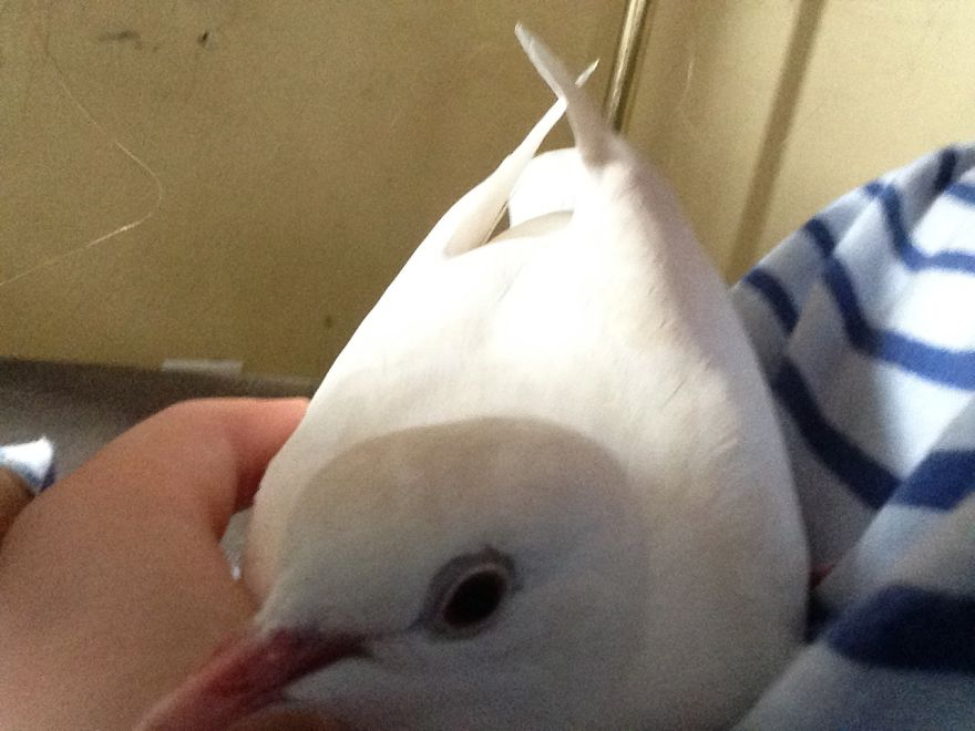 Tinker. Found Her Lost Outside. A Wedding Release Dove That Couldn't Find Her Way Home.