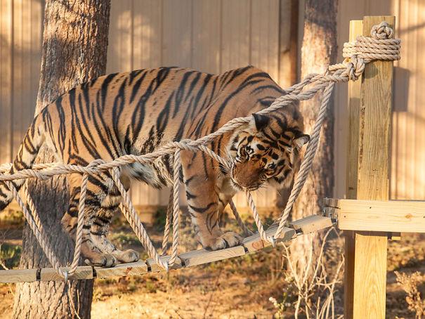 Tiger3-59df846392109.jpg