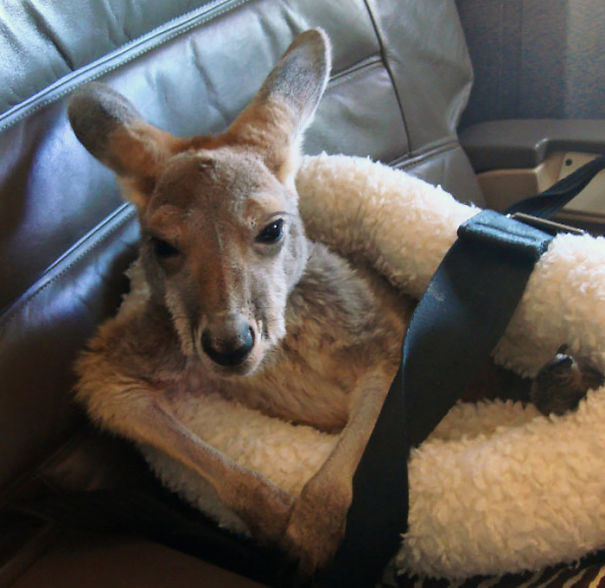 Joey The Kangaroo Looks Quite Comfortable In This Seat In The First Class Cabin Aboard An Aircraft
