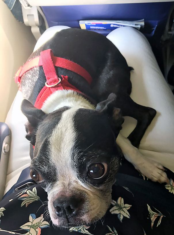 The Woman Next To Me On The Plane Has A Pupper, And Now I Have A Plane Friend