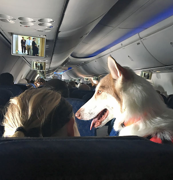 A Big Dog Had Her Own Seat On My Plane Today