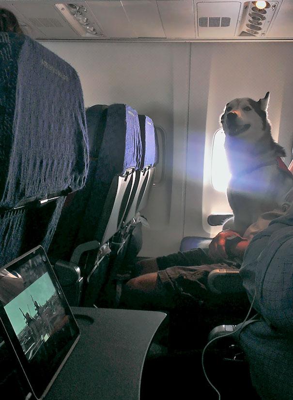 There Was An Alaskan Husky On My Flight