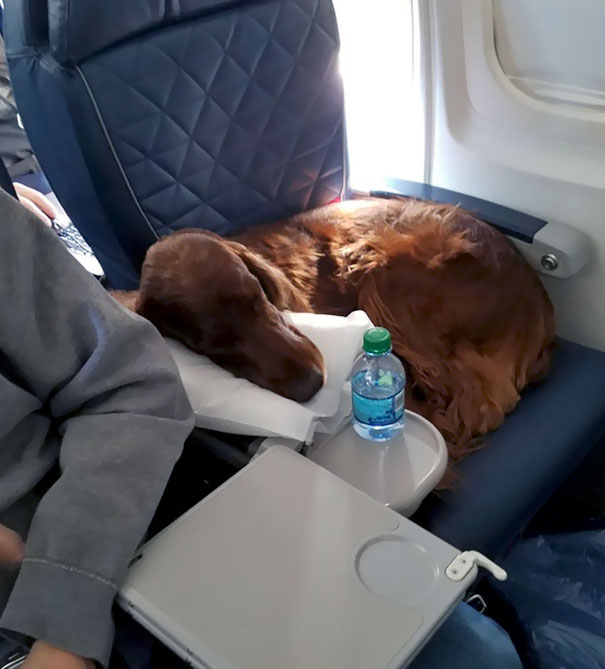 This Irish Setter Didn't Win The Best In Its Group At Westminster, But It Won The Best In First Class On My Flight