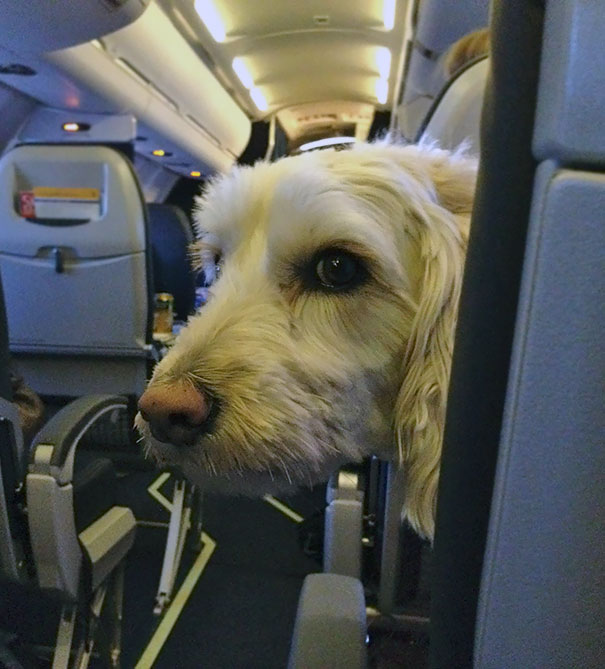 I Sat Behind A Labradoodle The Luck Dragon On My Flight Yesterday