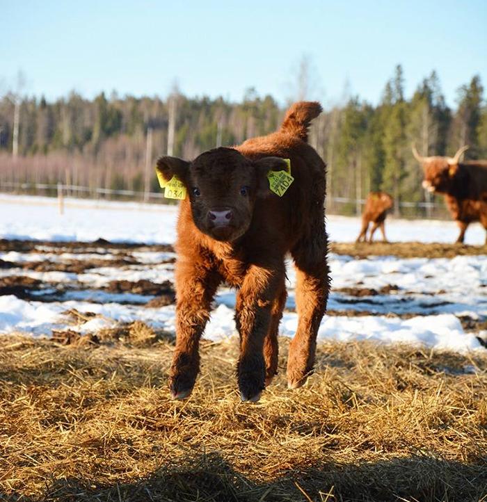 Playful Highland Calf