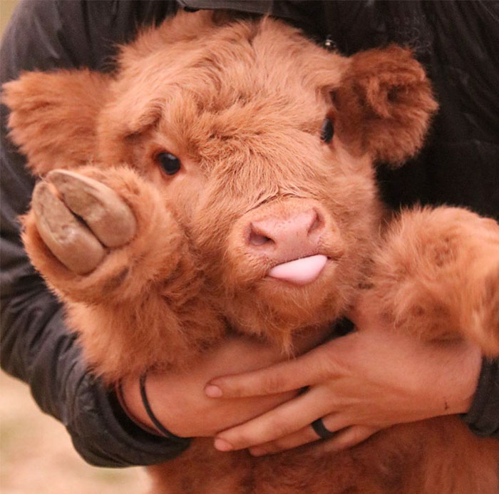 If You Ever Feel Sad, These 10+ Highland Cattle Calves Will Make You Smile