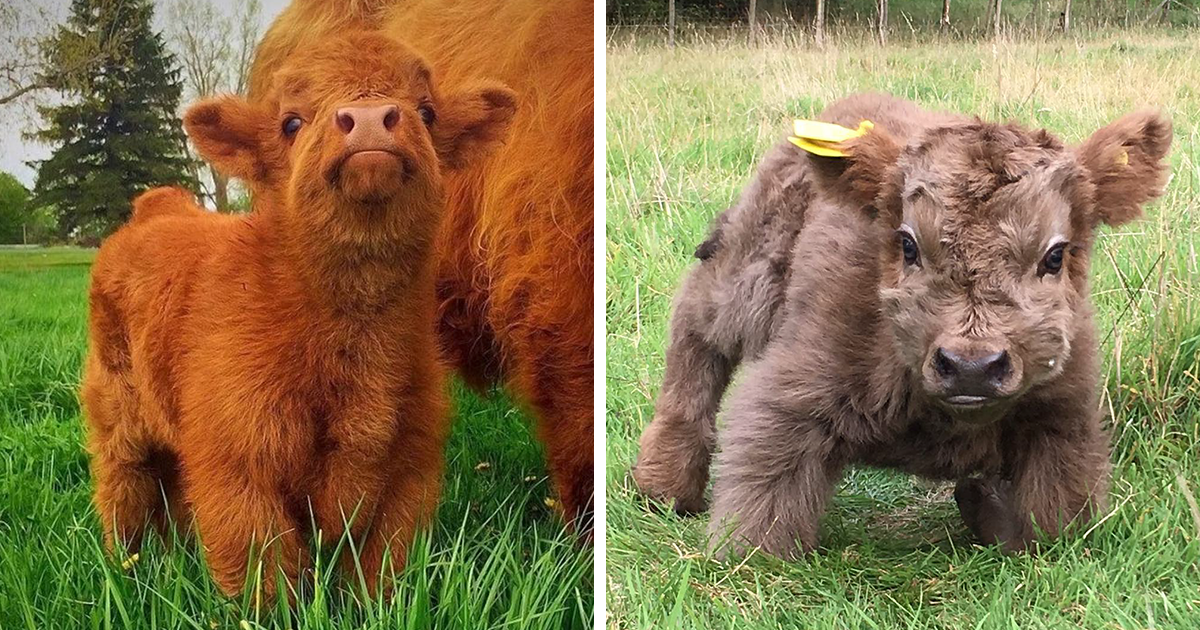 if you ever feel sad these 85 highland cattle calves will make you