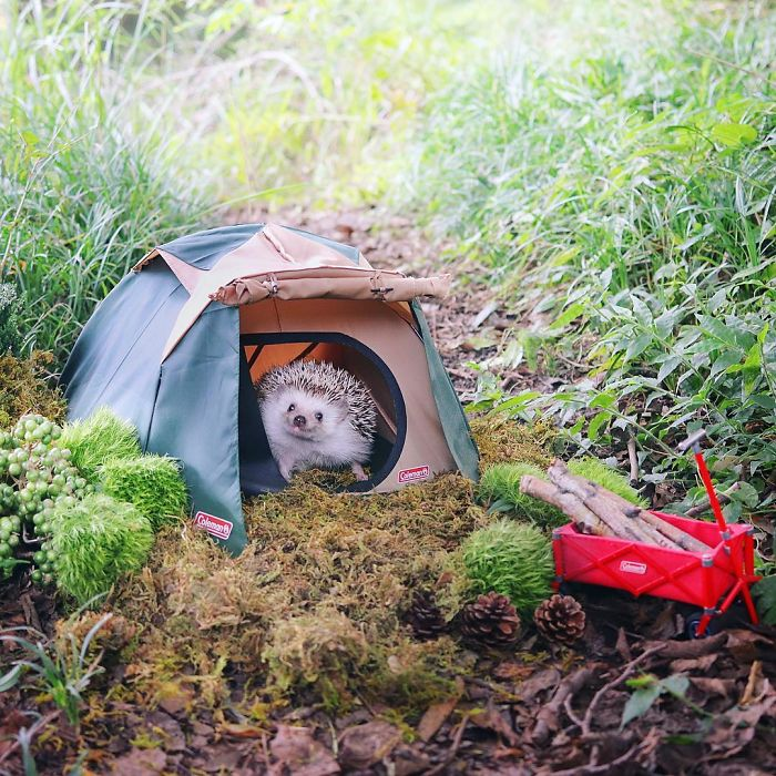 tiny hedgehog goes camping and his pics are the best thing you ll see today bored panda. Black Bedroom Furniture Sets. Home Design Ideas