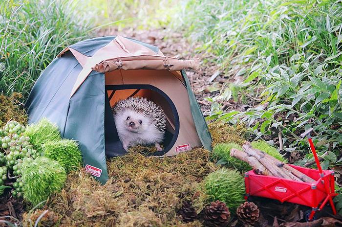 Este pequeño erizo se va de acampada, y sus fotos son lo mejor que verás hoy