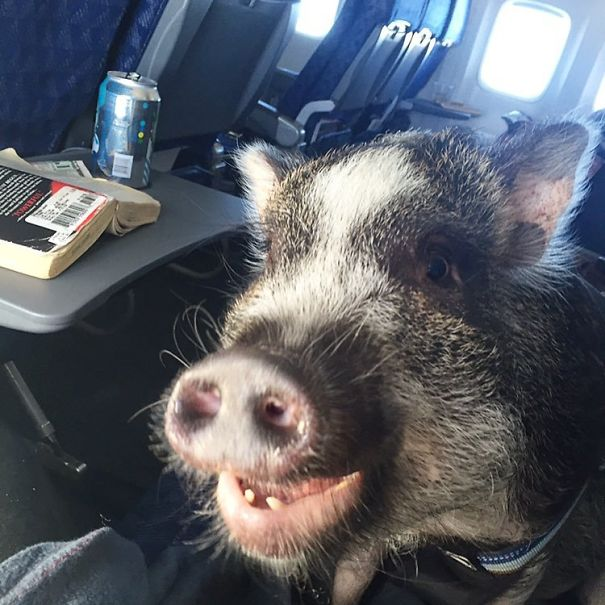 When Pigs Fly? Ha! Hoggin' The Possibilities!
