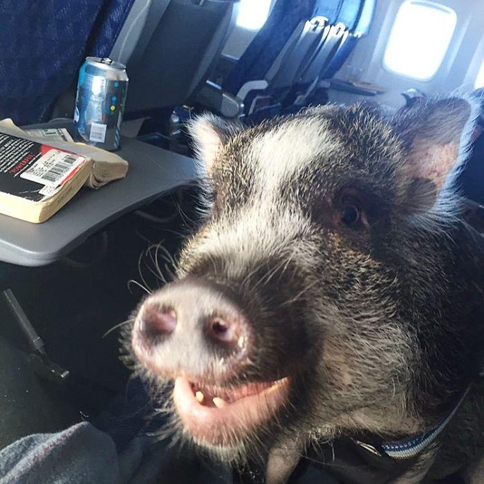 ¿Cuando los cerdos vuelen? ¡Ha! ¡Acaparando las posibilidades!