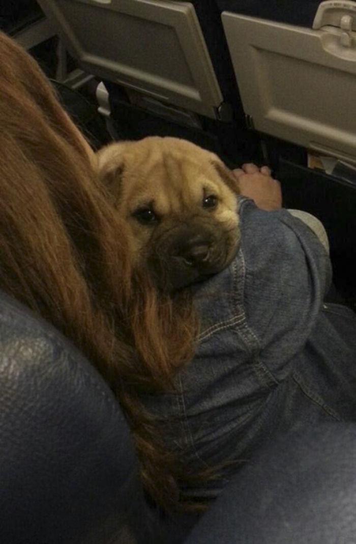 ¿Quién Trae Un Perro En El Avión? ¡Ni Sabía Que Estaba Permitido!