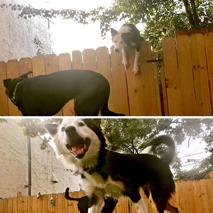 My Daycare Extended The Fences To Keep Me From Jumping Them- Didn't Work