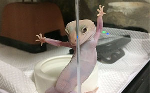 Ridiculously Photogenic Gecko Inspires Photoshop Battle, And It's Hilarious (Add Yours!)
