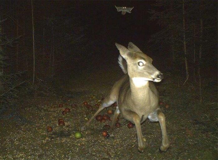 Ciervo huyendo de una ardilla voladora