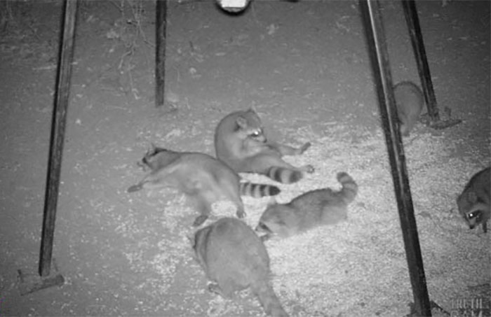 Fiesta de mapaches bajo un comedero de ciervos estropeado