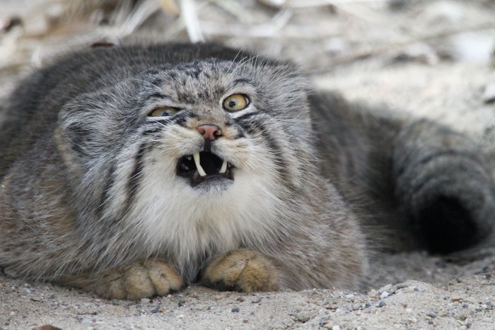 Pallas's Cat Sneezing