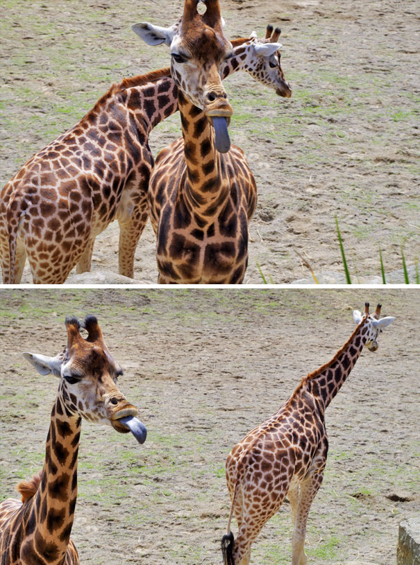 Giraffes Are Derpy