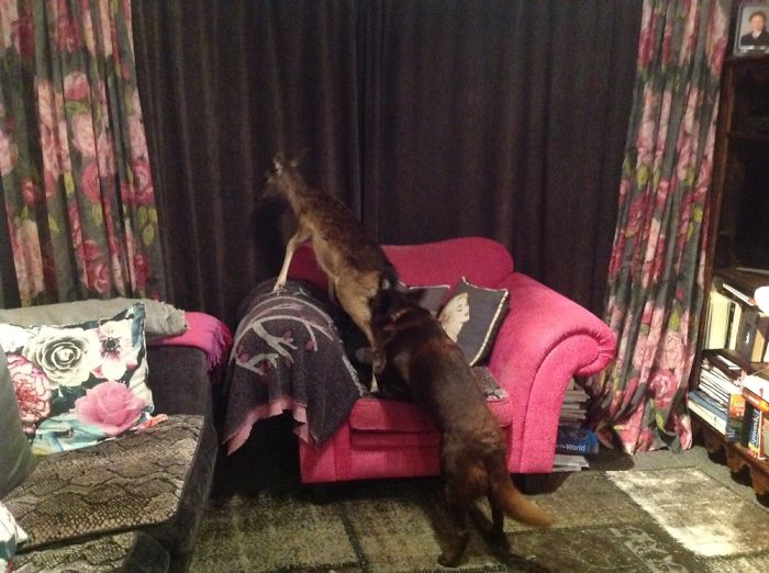My Dogs Trying To Catch The Deer By Climbing On Him. Dog Jerk To The Deer, And Deer, On Sofa